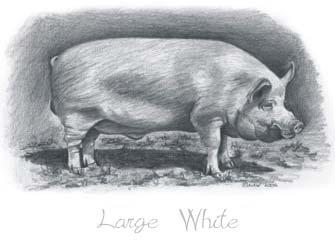 pig sa breeds large white pig breed